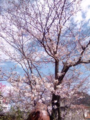 八重の紅垂れ桜、開花